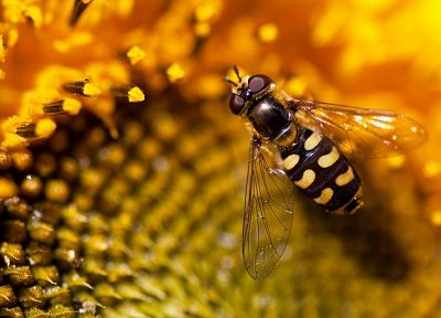 flowers, animals, insects, macro, bees, sunflowers - related desktop wallpaper