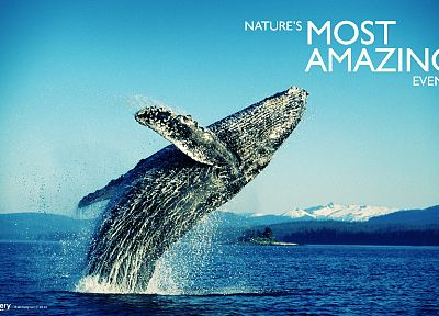 animals, whales - related desktop wallpaper