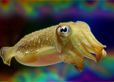 cuttlefish, sea - desktop wallpaper