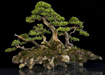 bonsai, bonsai tree - related desktop wallpaper