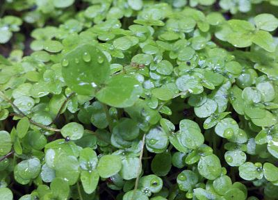 leaves, plants, water drops, Clovers - related desktop wallpaper