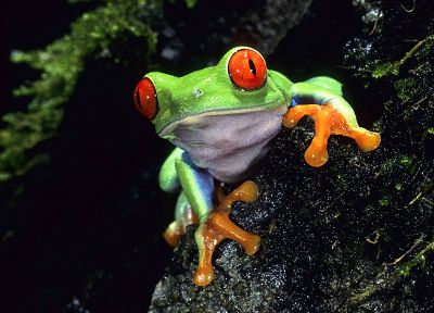 green, animals, red eyes, frogs, Red-Eyed Tree Frog, amphibians - desktop wallpaper