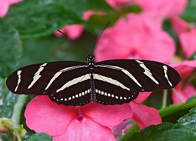 insects, pink flowers, butterflies - duplicate desktop wallpaper
