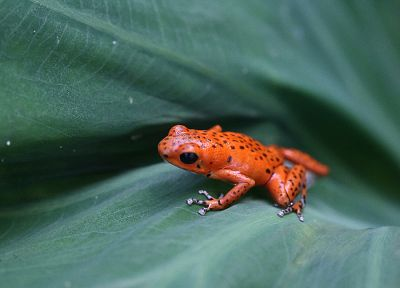 animals, leaves, frogs, amphibians, Poison Dart Frogs - desktop wallpaper