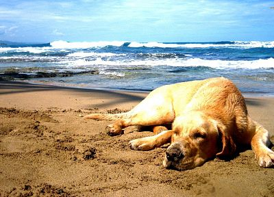 sand, dogs, Labrador Retriever, sea, beaches - related desktop wallpaper