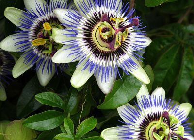 nature, flowers, plants, passion flowers - random desktop wallpaper