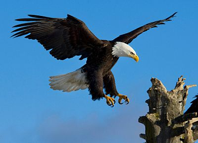 birds, wildlife, eagles, bald eagles - random desktop wallpaper