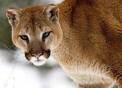 nature, snow, animals, cougars - random desktop wallpaper