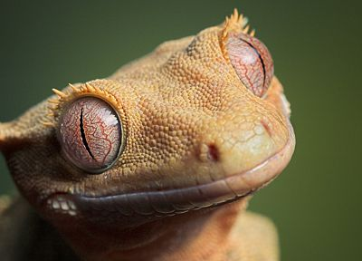 animals, geckos, reptiles - desktop wallpaper