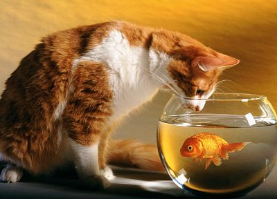 cats, funny, goldfish, fish bowls - related desktop wallpaper