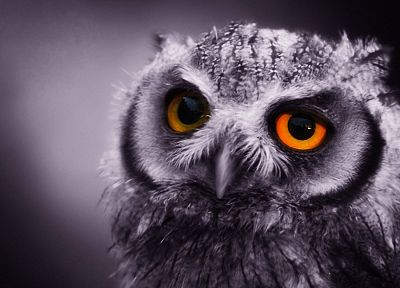 close-up, birds, owls, monochrome - related desktop wallpaper