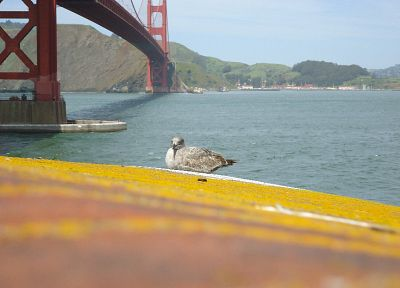 birds, Golden Gate Bridge, San Francisco, Sausalito - random desktop wallpaper