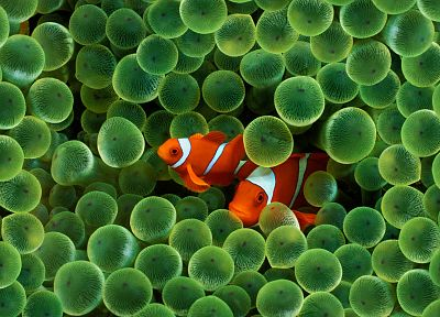 clownfish, sea anemones - desktop wallpaper
