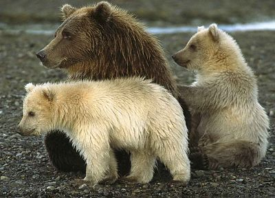 animals, Alaska, bears, National Park, baby animals - related desktop wallpaper