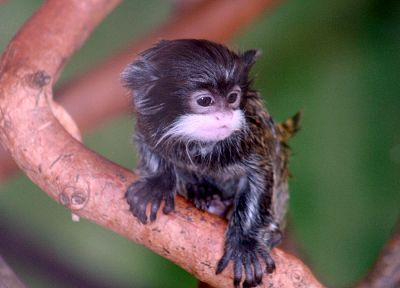 monkeys, tamarin, baby animals - desktop wallpaper