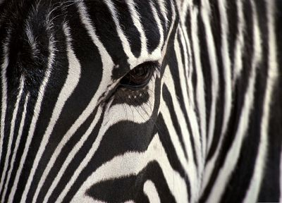 nature, animals, zebras, animal world - random desktop wallpaper