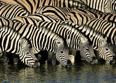 animals, zebras, Africa, drinking - desktop wallpaper