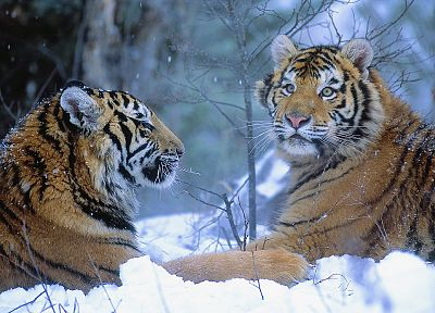 winter, China, animals, tigers - related desktop wallpaper
