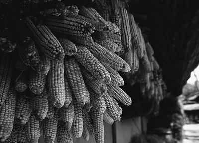 corn, grayscale - desktop wallpaper