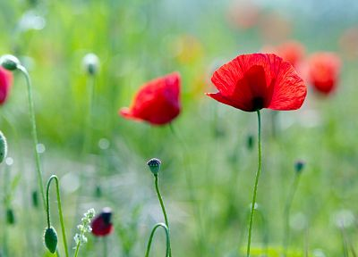 nature, flowers, poppies - desktop wallpaper