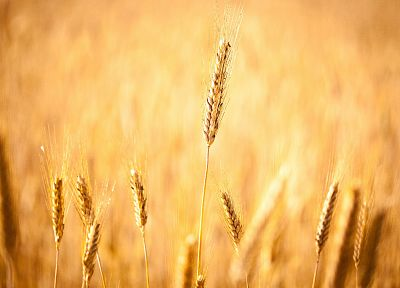 fields, wheat - desktop wallpaper