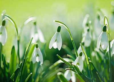 flowers, snowdrops - desktop wallpaper