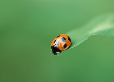 animals, insects, bugs, ladybirds - random desktop wallpaper