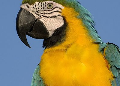 birds, parrots, Macaw, Blue-and-yellow Macaws - random desktop wallpaper