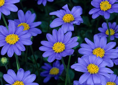 blue flowers - random desktop wallpaper