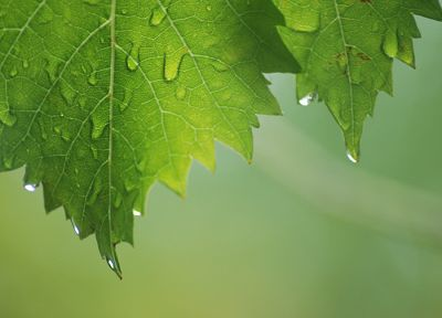 green, leaf, wet, water drops - random desktop wallpaper