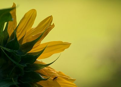 flowers, insects, macro, sunflowers - desktop wallpaper