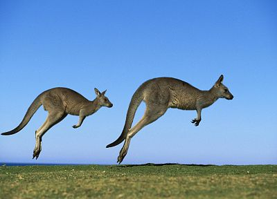animals, kangaroos - desktop wallpaper