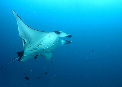 ocean, underwater, manta ray, sea - related desktop wallpaper