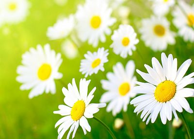 nature, flowers, daisy, sunlight - related desktop wallpaper