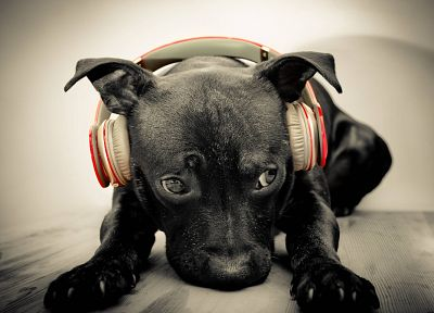 headphones, animals, dogs, Beats by Dr.Dre - random desktop wallpaper