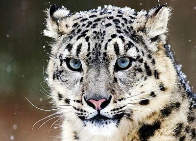 snow, animals, snow leopards, snowflakes, leopards, faces - random desktop wallpaper