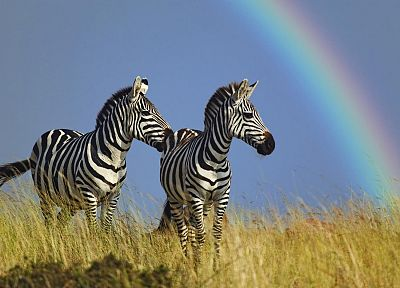 animals, wildlife, rainbows, zebras - desktop wallpaper