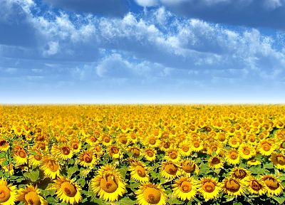 flowers, fields, sunflowers, yellow flowers - desktop wallpaper