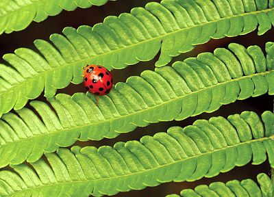 nature, insects, leaves, plants, macro, ladybirds - random desktop wallpaper