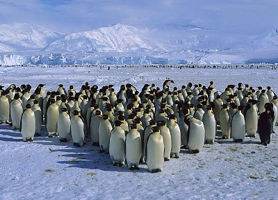 ice, snow, penguins, emperor, capes, Antarctica, sea - related desktop wallpaper