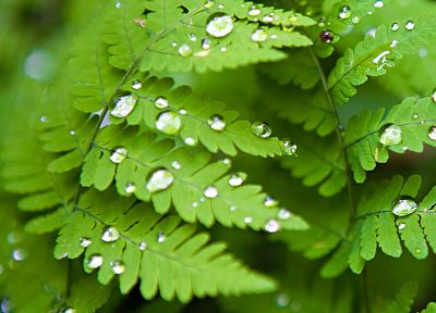 green, nature, leaves, plants, water drops, ferns - random desktop wallpaper