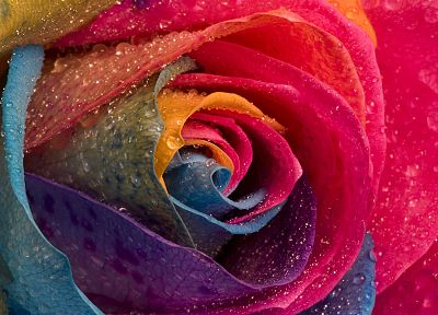 multicolor, flowers, water drops, macro, roses - desktop wallpaper