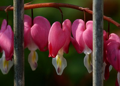 flowers, Bleeding Hearts - random desktop wallpaper
