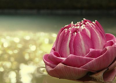 flowers, bokeh, reflections, lotus flower, pink flowers - desktop wallpaper