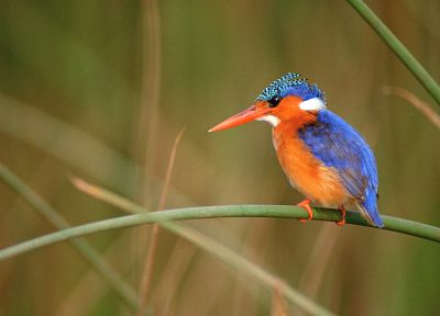 birds, kingfisher - desktop wallpaper