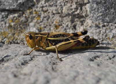 animals, insects, macro, depth of field, grasshopper - desktop wallpaper