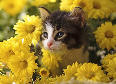 flowers, cats, kittens - desktop wallpaper