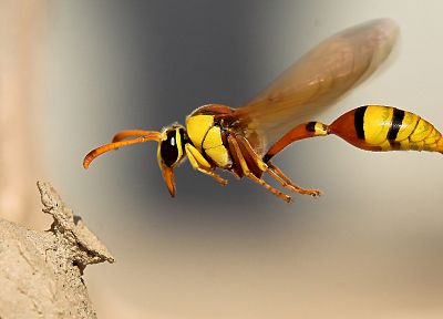 nature, flying, insects, wasp - random desktop wallpaper