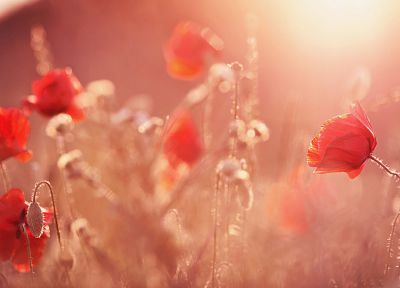 artistic, flowers, poppies - desktop wallpaper