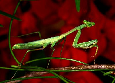 red, insects, mantis - random desktop wallpaper